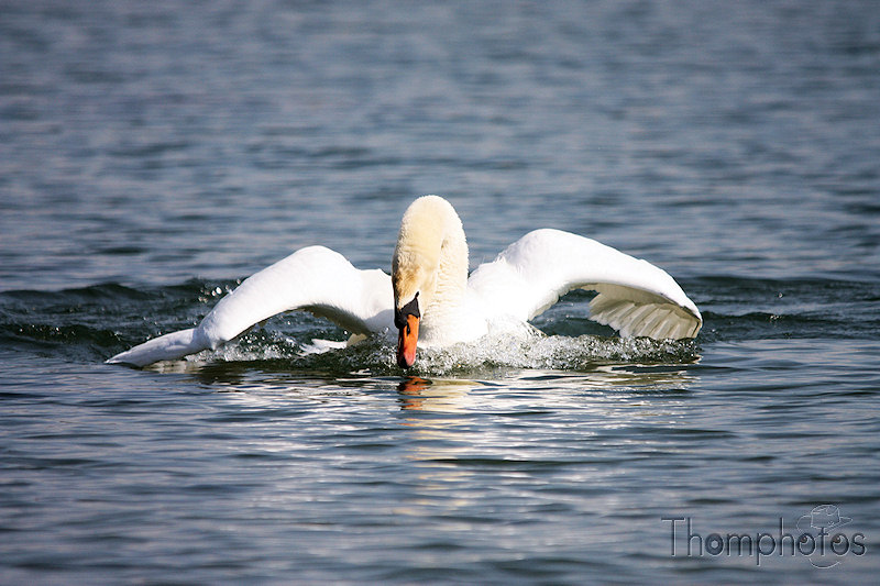 nature animal oiseau cygne atterissage amerissage trimarent eau lac