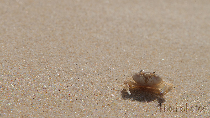 Crabe nature sable
