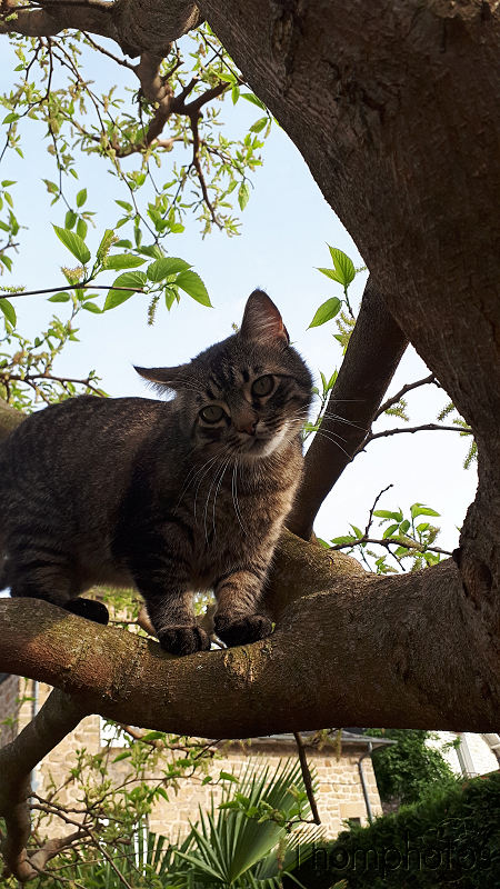 nature animal chat cat miaou matou européen gouttière tigré tiger strip amour love jardin garden Pouill'pouille fripouille arbre tree acrobathie