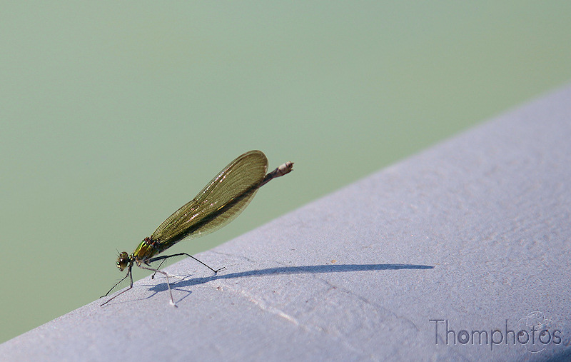 nature animal insecte libellule dame de l'eau demoiselle