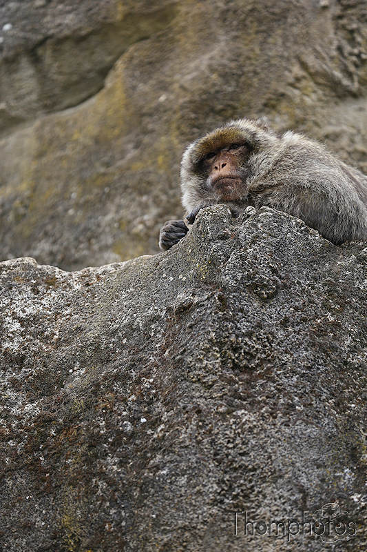 nature animal singe macaque de barbarie monkey rocamadour forêt des singes semi sauvage half wild repos sleepy