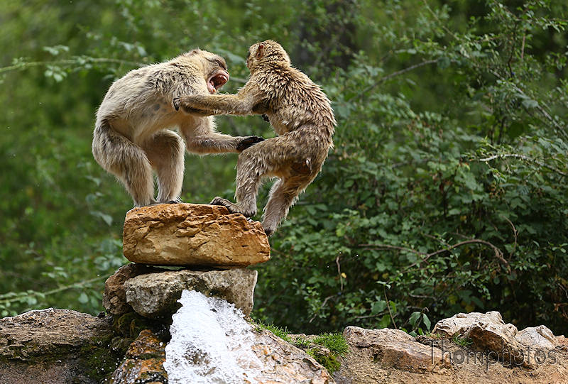 nature animal singe macaque de barbarie monkey rocamadour forêt des singes semi sauvage half wild combat fight