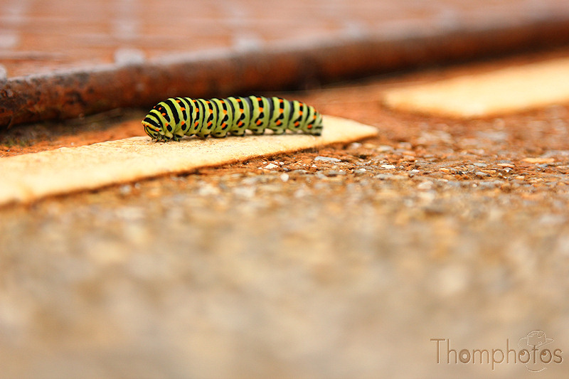 nature animal chenille caterpillar papillon vert gree butterfly sol soil