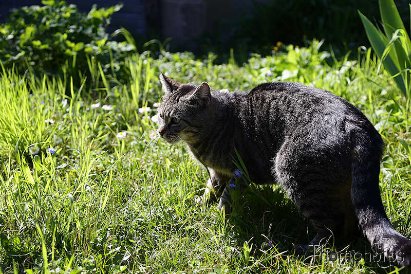 nature animal chat cat meow miaou tibou jardin garden grass herbe verte green soleil sun sunny en chasse hunting