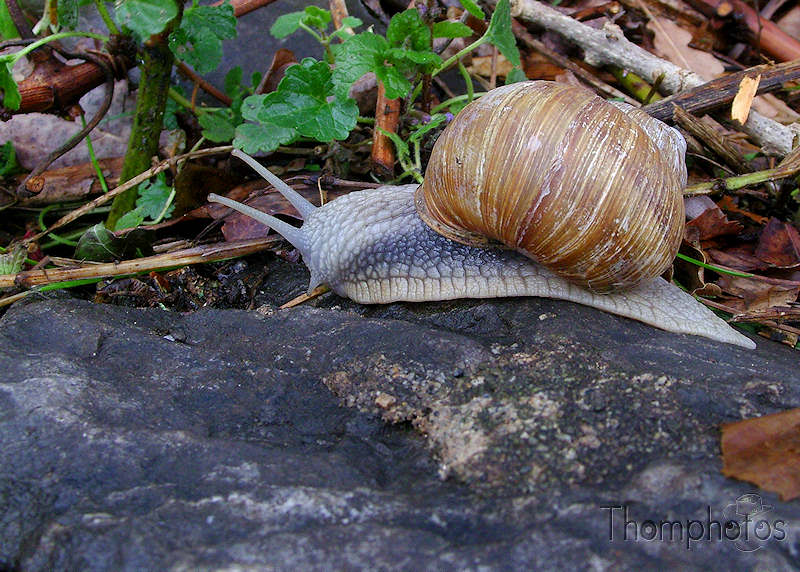 nature animal escargot limace maison sur son dos lent transporte rocher bave gluante ail persil beurre