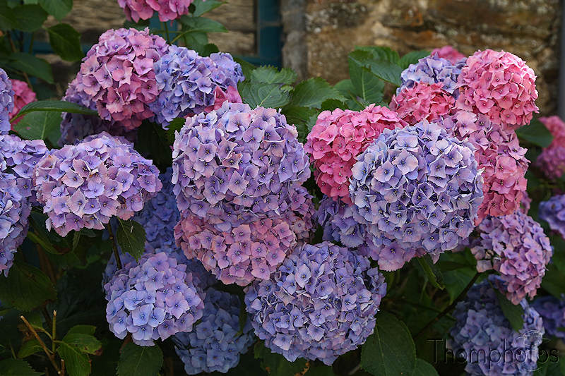 nature bretagne britain france festival photo la gacilly saint-malo st saint malo cité corsaire pirate city japon japan hortensia fleurs flowers blue bleu rose pink