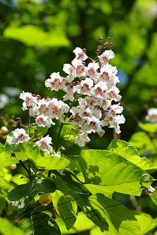 arbre fleur violette
