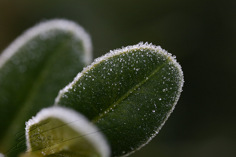 macro nature janvier gel gelée ice glace icy mousse mosse crystal cristaux blanc white plante feuille leaf verte green