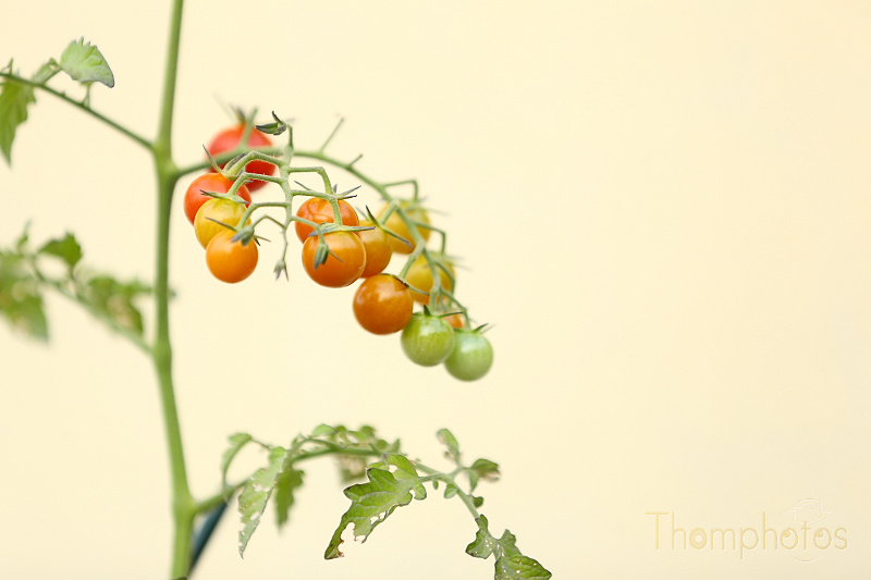 nature jardin garden bio tomates tomatoes rouge red cerise cherry dégradé