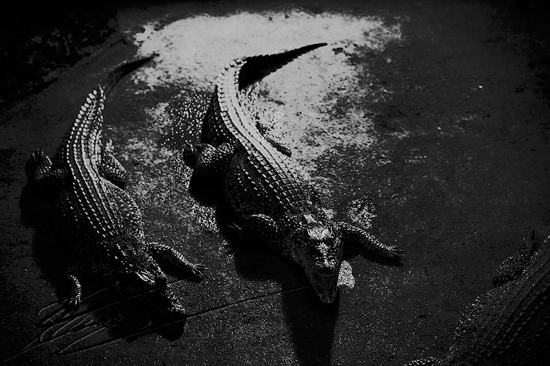 reportage bretagne 2011 crocodile alligatore alligator bay zoo noir et blanc nb nil floride