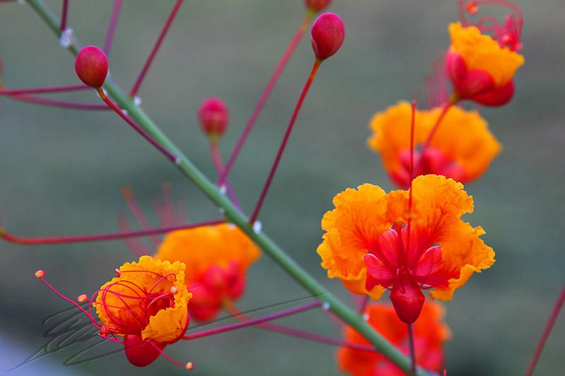 Rose Rouge de Cactus