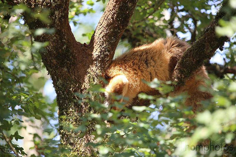 reportage photo été 2020 rocamadour causses du quercy parc animalier de gramat animaux renard roux red ginger fox sleep in tree dort dans les arbres
